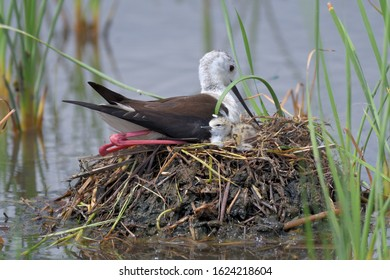 The Black-winged Stilt, Common Stilt, or Pied Stilt (Himantopus himantopus) is a widely distributed very long-legged wader in the avocet and stilt family(Recurvirostridae).Nest with the first newborn.