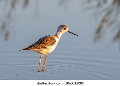 The Black-winged Stilt Common Stilt or Pied Stilt (Himantopus himantopus) is a widely distributed, very long-legged wader in the avocet and stilt family.