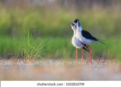 Black-winged stilt courtship behaviour