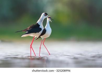 Black-winged stilt courtship behaviour