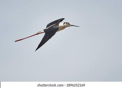 Black-winged stilt. Flying himantopus himantopus