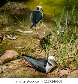 Black-winged Stilt, Himantopus himantopus, black and white bird with long red legs, sitting on eggs, while partner walks away.