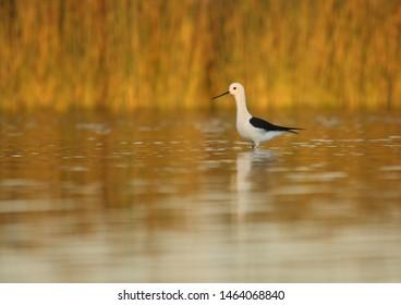 Black-winged stilt male on lake