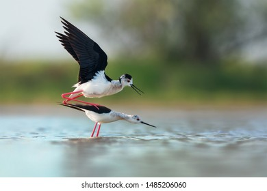 Black-winged stilt matting (Himantopus himantopus)
