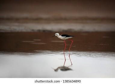 black-winged stilt mirroring in lake
