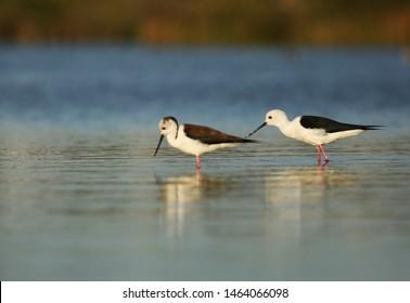 Black-winged stilt pair on lake