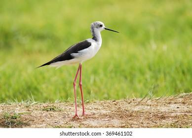 Black-winged Stilt is a sea bird.