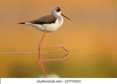 Black-Winged Stilt in shallow water