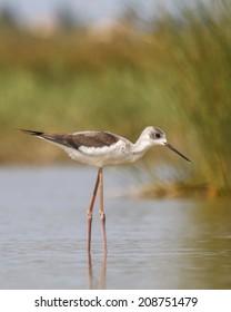 Black-winged Stilt wading bird