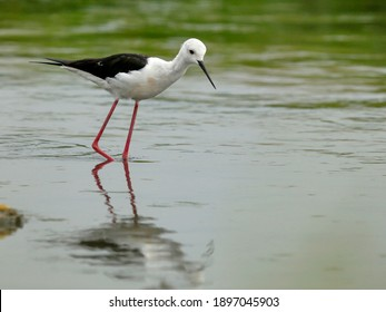 The black-winged stilt is a widely distributed long-legged wader in the avocet and stilt family. The scientific name Himantopus himantopus was formerly applied to a single, almost cosmopolitan species
