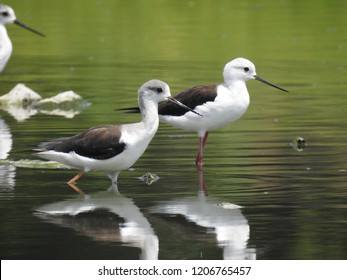 Black-winged Stilts in a pond, hunting for catches, these are migratory birds, common stilt or pied stilt