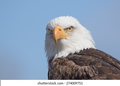 Blad Eagle Portrait