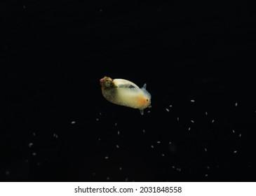 Bladder snails (Physa acuta) freshwater invertebrates commonly found in pond