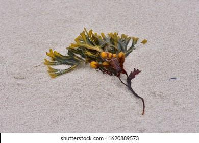Bladder wrack on the coast on the baltic sea