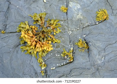 Bladderwrack (Fucus vesiculosus) algal seaweed on the shore of North West Scotland at low tide. Widely recogniosed as medicinal plant containing a high iodine level.