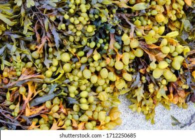 Bladderwrack (Fucus vesiculosus) seaweed closeup. Fucus vesiculosus, is a seaweed found on the coasts of the North Sea