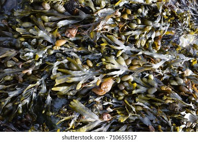 Bladderwrack - seaweed, close up