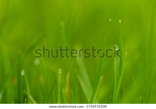 Blades of grass with blurred background and drops of dew