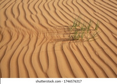 Blades of grass in the desert sand of Wahiba Sands, Oman