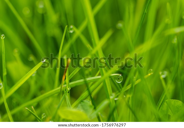 Blades of grass and drops of dew after the rain