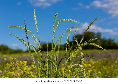 Blades of grass. High stems. Single pieces. Animal pasture. Large grass closeup. Wild vegetation. Tall grass. Colorful flowers as a background.