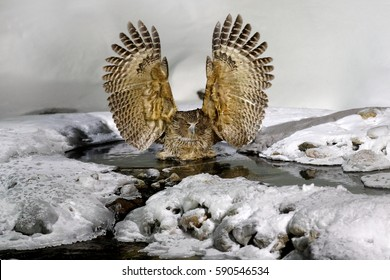 Blakiston's fish owl, Bubo blakistoni, largest living species of fish owl, a sub-group of eagle. Bird hunting in cold water. Wildlife scene from wintery Hokkaido, Japan. River bird with open wings.