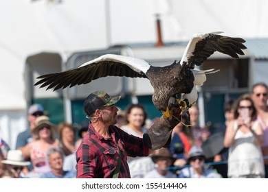 Blandford Forum.Dorset.United Kingdom.August 24th 2019.A Stellers sea eagle (haliaeetus pelagicus) is being flown in a falconry demoinstration at The Great Dorset Steam Fair.