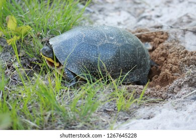 Blanding turtle laying eggs