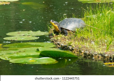 Blanding's Turtle basking in the sun on a floating, man made island in a pond. Don Valley Brickworks Park, Toronto, Ontario, Canada.
