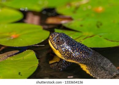 Blanding's turtle (Emydoidea blandingii) among the lilypads