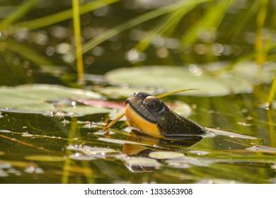 Blanding's turtle (Emydoidea blandingii) emerging from the water