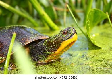 Blandings Turtle (Emydoidea blandingii) in marsh habitat in northern Illinois