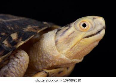 Blanding's Turtle (Emydoidea blandingii) is a North American turtle species.