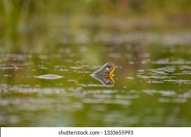 Blanding's turtle (Emydoidea blandingii) in the swamp
