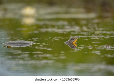 Blanding's turtle (Emydoidea blandingii) in the swamp with a lily in the background