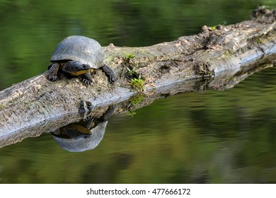 Blanding's Turtle - Emydoidea blandingii, this endangered species turtle is enjoying the warmth of the sun atop a fallen tree.  The surrounding water reflects the turtle, tree, and summer foliage.