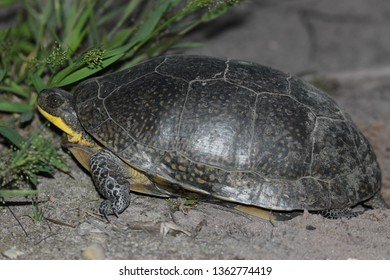 Blanding's Turtle at Night in Process of Laying her Eggs