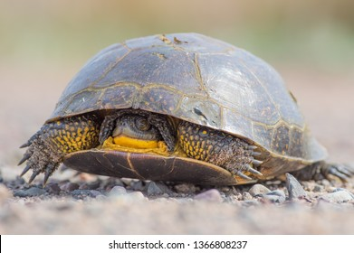 Blanding's Turtle on a dirt rural road in the Fish Lake Wildlife Area in Northern Wisconsin