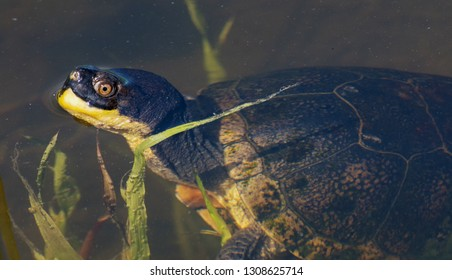 A Blanding's Turtle pokes its head above the water; rest of body is just below the surface.  Brockville, Ontario.