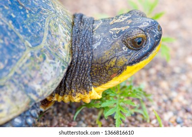 Blanding's Turtle portrait on a gravel rural road in the Crex Meadows Wildlife Area in Northern Wisconsin