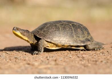 Blanding's turtle in Wisconsin Agnieszka Bacal.