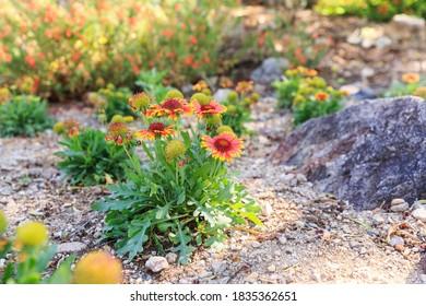 Blanket Flower North American Southwest Flora