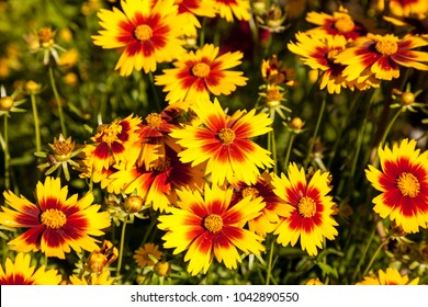 Yellow flower with red center images stock photos vectors blanket flower yellow daisy with red center called gaillardia pulchella blooms in a garden in naples mightylinksfo