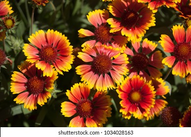 Blanket Flowers Gaillarda Arizona Sun