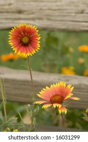 Blanket Flowers (Gaillardia) stand in front of an old split rail fence.