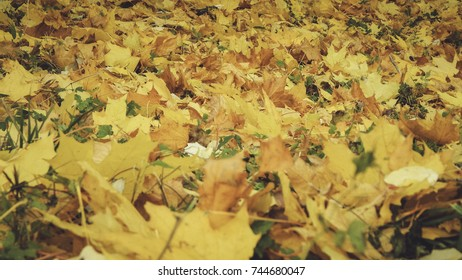 Blanket of Yellow and read leaves on the ground