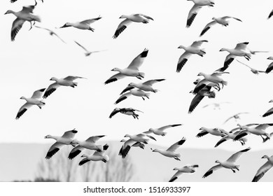 Blast off from Bosque del Apache. 1000's of snow geese take off at the same time in the early morning