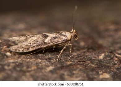 Blastobasis adustella moth on bark. British moth in the family Blastobasidae attracted to light in Bath, Somerset, UK
