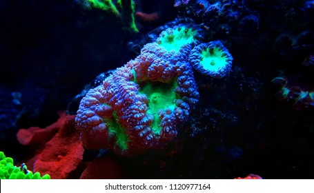 Blatomussa LPS coral in saltwater aquarium reef tank