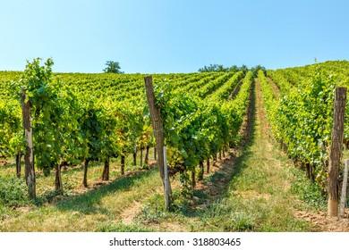 Blauburger green grapes in a vineyard in Hungary